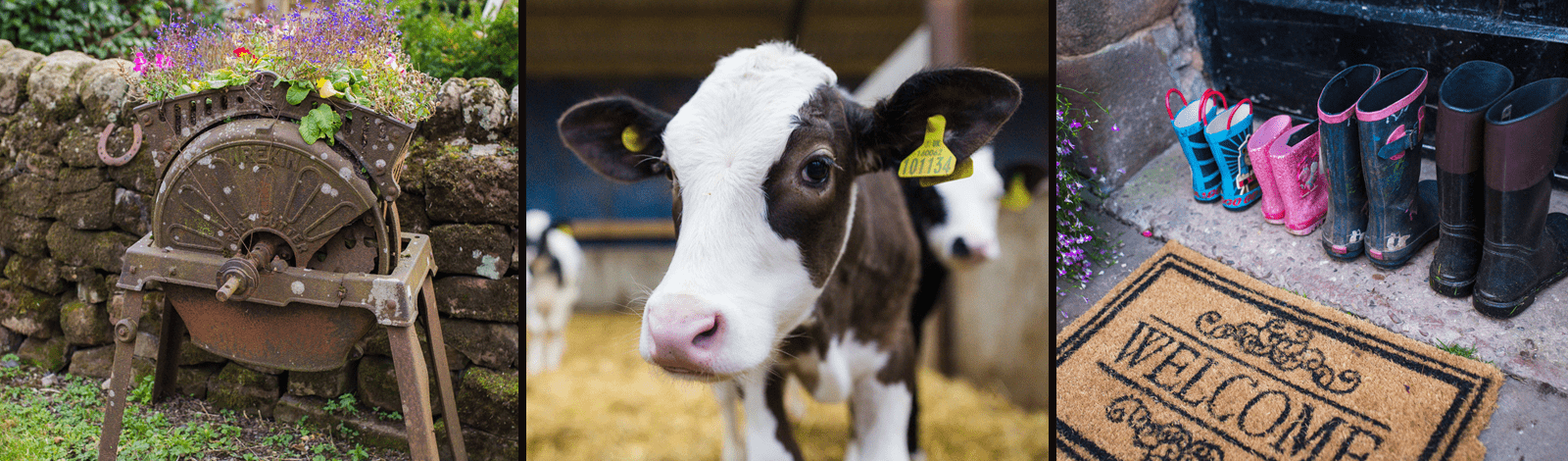 fairboroughs-cow