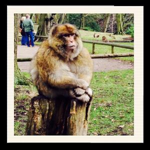 trentham-monkey